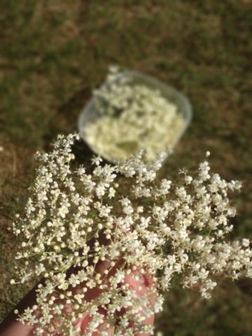 Čerstvě natrhané květenství bezu